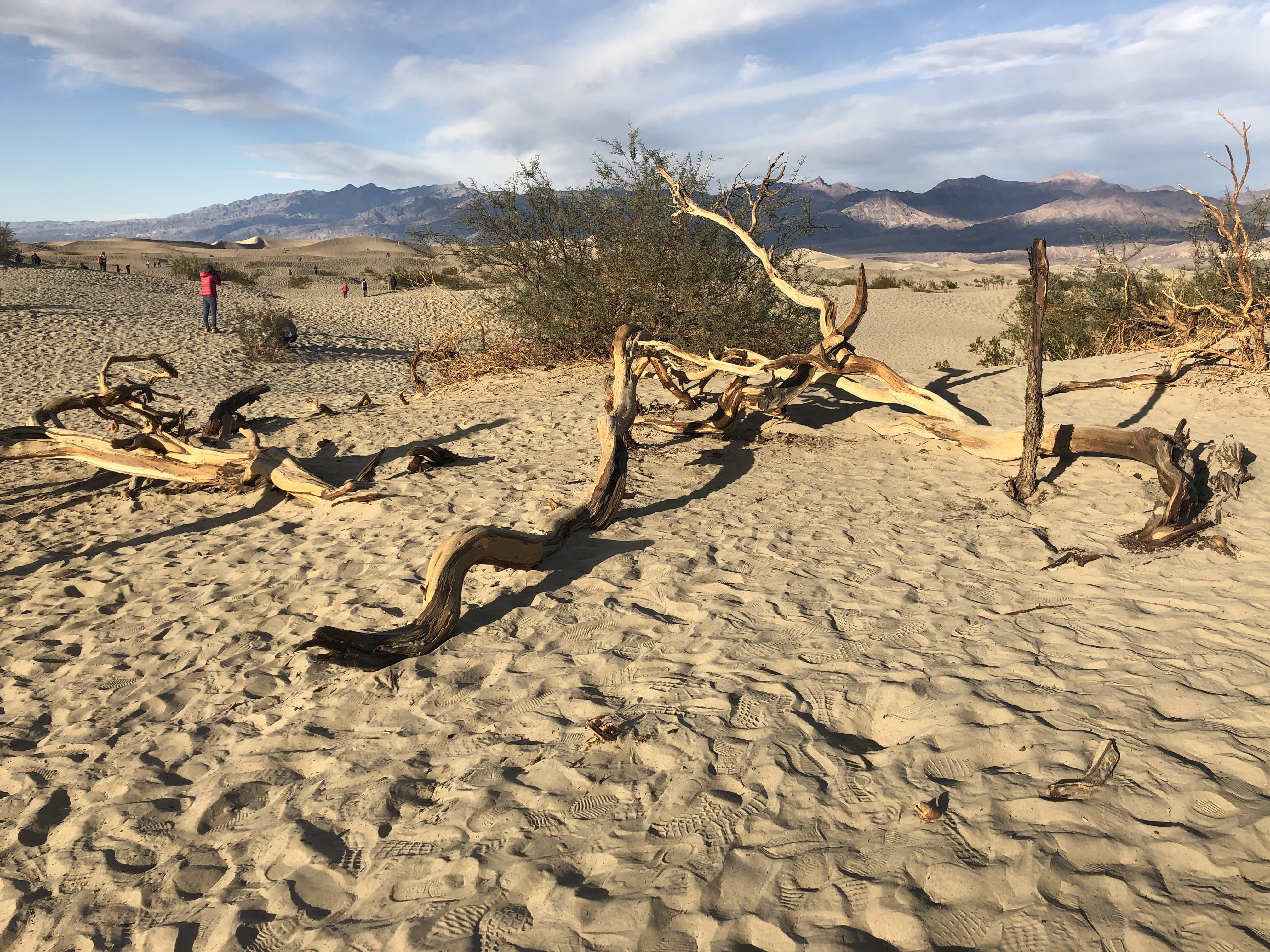 Plants with long tap roots like mesquite flourish along with the fridge of the dunes